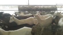 Pregnant Saanen milk goats