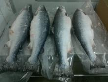 Frozen Whole Round Atlantic Salmon from Chile