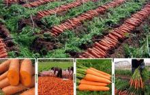Fresh Carrots for Export