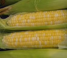 Best High Quality White and Yellow Corn/Maize for sale