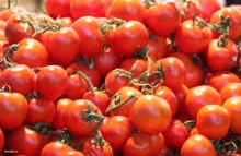 Top Quality Fresh Tomatoes For Sale
