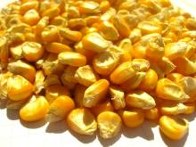 Top High Quality White and Yellow Corn/Maize For Human Consumption