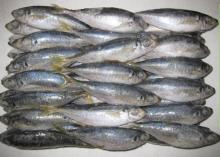 Top Quality Frozen Mackerel Fish at Affordable Prices