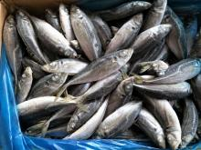 2017 Sea Frozen Horse Mackerel with Good Price