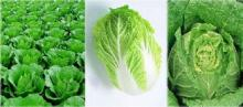 Chinese Fresh Cabbage