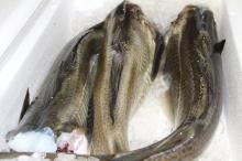 Frozen Atlantic  Cod   Fish   Cod  Fillet