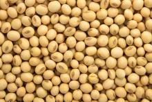 High Protein Soybean