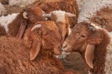 Live Awasi Sheeps