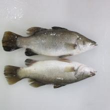 Barramundi with whole body in ice