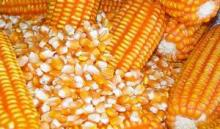 Dry Yellow Corn