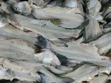 Seabass fish bone