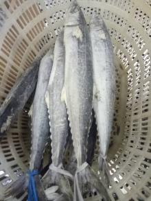 Frozen Mackerel Whole Round