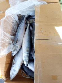 WR Frozen Pacific Mackerel