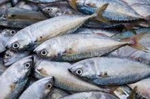 Fresh mackerel,frozen mackerel