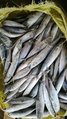 New Seafrozen frozen pacific mackerel WR