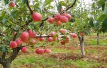 Red skin pear