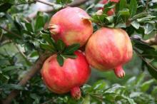 Yunnan pomegranate