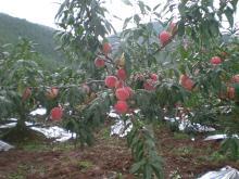 Yunnan peaches