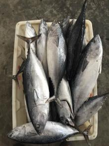 Frozen Bonito Fish for sale