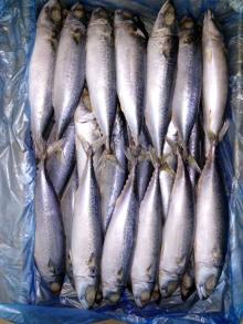 Pacific Mackerel WR