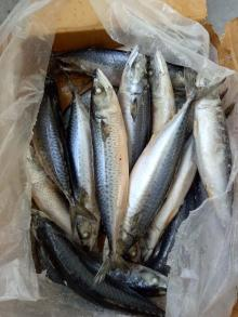 Pacific Mackerel Hot Sale