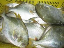 IQF frozen golden pomfret