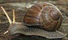 Africa Giant Snail