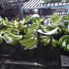Quality Cavendish Banana