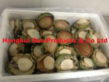 Live African or Atlantic Abalones