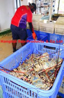 Live Ornate or Flower or Tiger Lobsters (Panulirus ornatus)