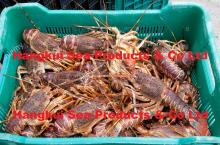 Live West Coast Rock Lobsters (Jasus lalandii)