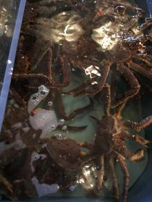 Live Red King Crabs