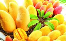 High Quality Fresh Mango , Fresh Golden Yellow Mango , Fresh Mango Fruit with reasonable price