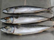 Frozen Pacific Mackerel Fish for Canned Food