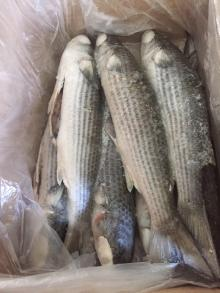 Frozen Grey Mullet W.R