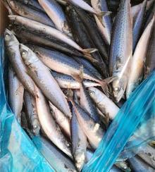New Seafrozen frozen pacific mackerel WR 120-150