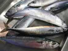 FROZEN MACKEREL, ATLANTIC (Scomber  scombrus ) SEA FISH
