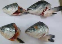 Frozen Atlantic Salmon Heads(V-cuts and straight cuts)