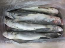 frozen grey mullet fish