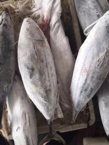 New Frozen Bonito Fish