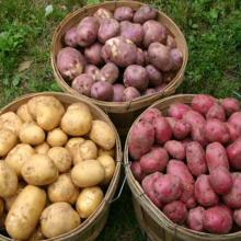 EXCELLENT- Holland Potato/yellow- holland -potato/Fresh Irish potatoes