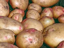 New Crop Fresh =Irish Potatoes for Sale-