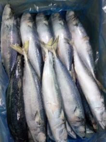 A grade pacific mackerel WR 400-600g/pc for market /canned
