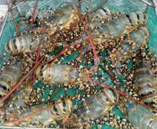 Live Lobster Mutiara