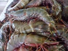 Fresh sea tiger prawn