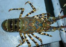Live Tiger Lobster