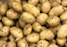 Certified /GAP /fresh Table Potatoes /Export to Spain Market