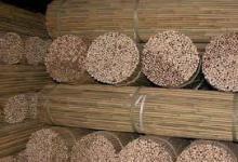 Tonkin cane bamboo plants