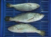 Haddock,Monkfish,Hake,Silver Croaker,COD,salmon,