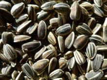 Wholesale sunflower seeds with competitive price